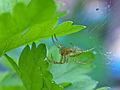 Araniella cucurbitina - Kürbisspinne - cucumber green spider I.jpg