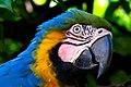 Arara-caninde (Ara ararauna) - Blue-and-yellow Macaw.jpg