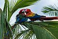 Aras Papagei.jpg