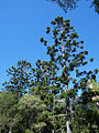 Araucaria cunninghamii Noosa National Park Queensland.jpg