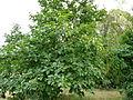 Arbre aux Kakis - Jardin Agronomique Tropical 2.JPG