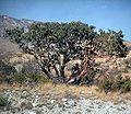 Arbutus xalapensis USDA.jpg
