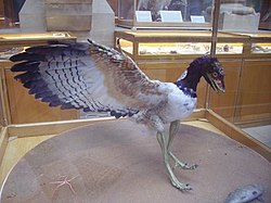 Archaeopteryx lithographica.JPG