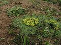 Arctopus echinatus IMG 0487.JPG