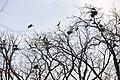 Ardea herodias -Illinois, USA -nests-8 (6).jpg