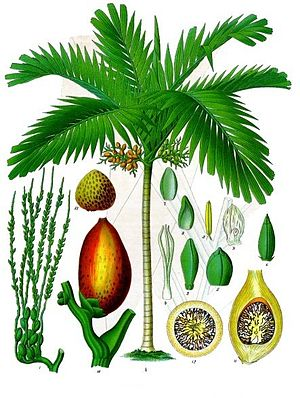 Areca catechu - 19th century drawing of Areca catechu