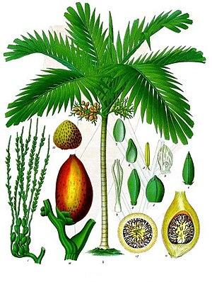 Betelnusspalme (Areca catechu), Illustration