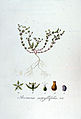 Arenaria serpyllifolia — Flora Batava — Volume v7.jpg