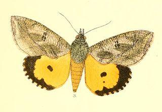 <i>Eudocima materna</i> Species of moth
