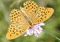Argynnis paphia-4.jpg