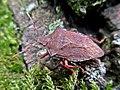 Arma custos (Pentatomidae) - (imago), Elst (Gld), the Netherlands.jpg