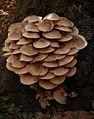 Armillaria mellea 7722.jpg