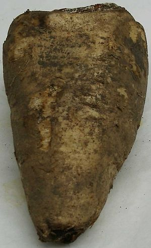 Arracacia xanthorrhiza - An arracacha root, partially covered by dirt.