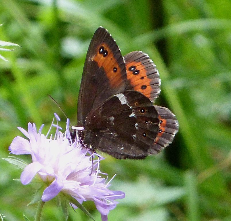 File:Arran Brown. u. s. male Erebia ligea (16203382062).jpg ...
