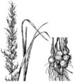 Arrhenatherum elatius ssp bulbosum HC-1950.png