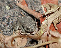 Arroyo toad (23789477236).jpg