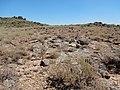 Artemisia arbuscula (27933206853).jpg