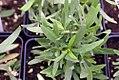 Artemisia dracunculus Sativa 0zz.jpg