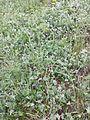 Artemisia pancicii sl18.jpg