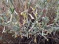Artemisia tridentata spiciformis (7832390560).jpg
