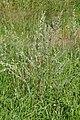 Artemisia vulgaris - Oslo, Norway 2020-08-03 (21).jpg