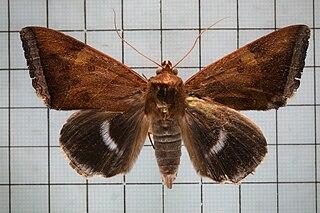 <i>Artena dotata</i> Species of moth