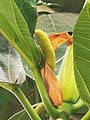 Artocarpus altilis 麵包樹 20210412100900 01.jpg