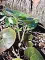 Asarum europaeum subsp. europaeum sl12.jpg