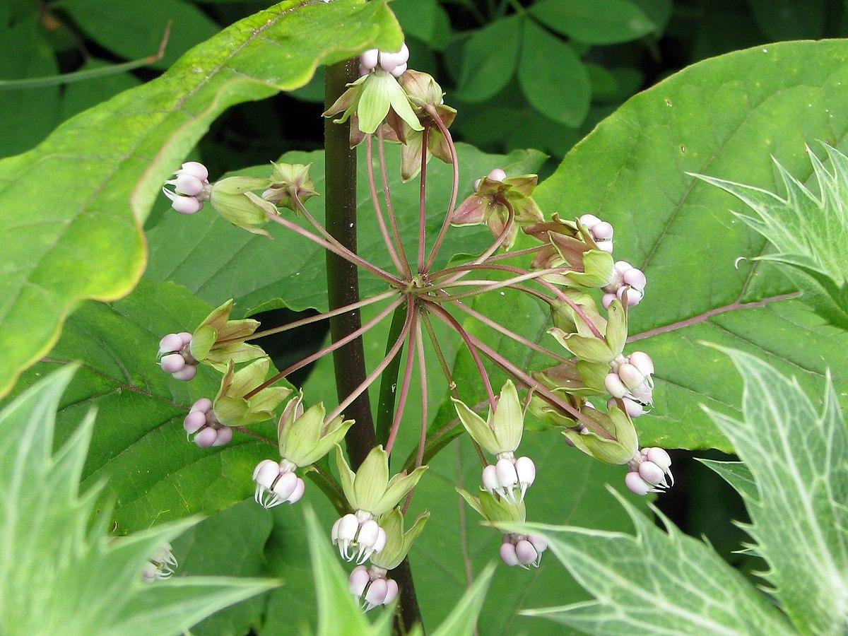 Asclepias exaltata (poke milkweed): Go Botany