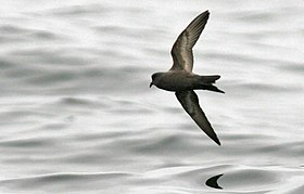 Ashy storm-petrel in flight (8242015229).jpg