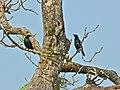 Asian Glossy Starlings (Aplonis panayensis) (8224296234).jpg
