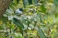 Asian Paradise Flycatcher in Nepal.jpg