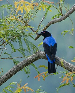 Asian fairy bluebird male marayoor.jpg