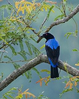 Asian fairy-bluebird species of bird
