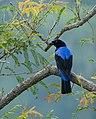 Asian fairy bluebird male marayoor.jpg