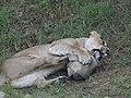 Asiatic Lioness 14.jpg