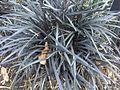 Asparagales - Ophiopogon planiscapus 1.jpg