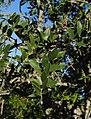 Aspidosperma quebracho-blanco- Soriano, Palmar, Bosque parque al margen del Arroyo Vera 14.jpg