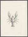 Astacus gambelii - - Print - Iconographia Zoologica - Special Collections University of Amsterdam - UBAINV0274 097 01 0012.tif