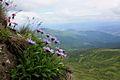 Aster alpinus на скелях Близниці.jpg