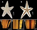 Astropecten marginatus (from taxonomic guide).jpg