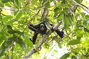 Madeira-Tapajós moist forests - white-cheeked spider monkey (Ateles marginatus)