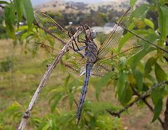 Orthetrum caledonicum, the Blue Skimmer dragonfly