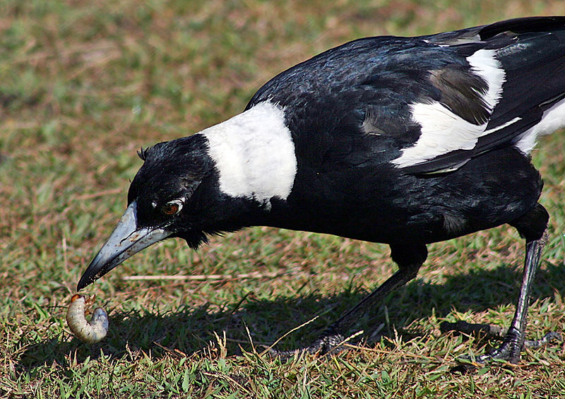 File:Australian Magpie Digging Grub edit.jpg