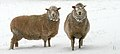 Australian Sheep in Snow.jpg