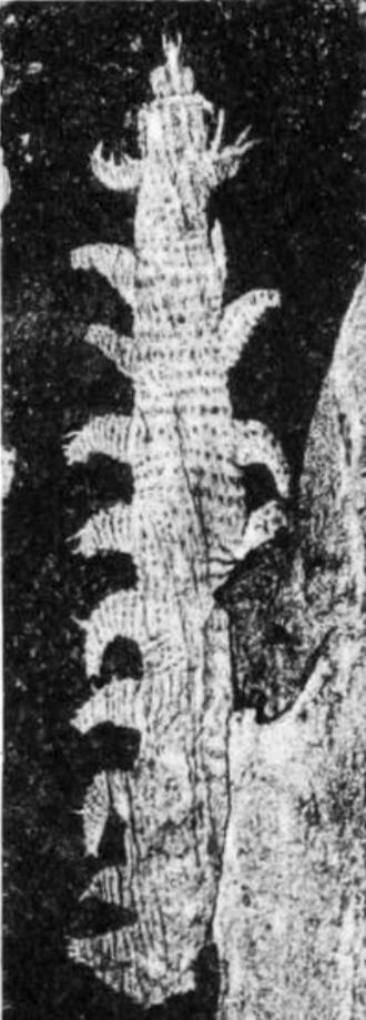 Aysheaia - Aysheaeia, type specimen, retouched image from Walcott 1911.