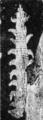 Aysheaia Walcott 1911.png