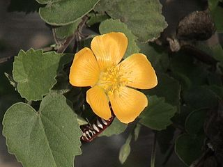 <i>Abutilon indicum</i> Species of plant