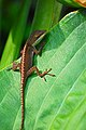 Baby lizard (2768289432).jpg