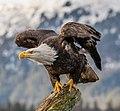 Bald Eagle (Haliaeetus leucocephalus) in Kachemak Bay, Alaska.jpg